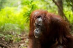 Orangutan in Borneo Indonesia. Royalty Free Stock Photo