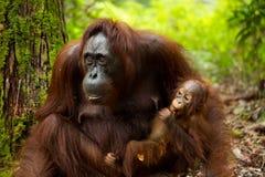 Orangutan in Borneo Indonesia. Stock Images
