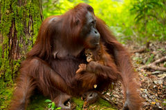 Orangutan in Borneo Indonesia. Royalty Free Stock Photography