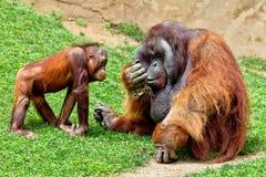 Orangutan of Borneo, Pongo Pygmaeus Stock Images