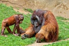 Orangutan of Borneo, Pongo Pygmaeus Stock Photos