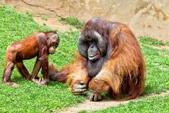 Orangutan of Borneo, Pongo Pygmaeus Royalty Free Stock Image