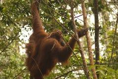 Orangutan, Borneo, Sarawak Stock Photography