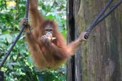 Orangutan in Borneo Royalty Free Stock Photo