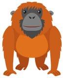 Orangutan with brown fur Royalty Free Stock Photos
