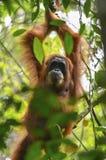 Orangutan, Bukit Lawang, Sumatra, Indonesia Stock Images