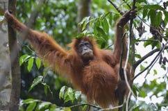 Orangutan, Bukit Lawang, Sumatra, Indonesia Royalty Free Stock Photography
