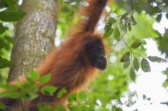 Orangutan, Bukit Lawang, Sumatra, Indonesia Stock Photo
