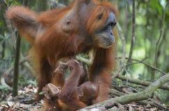 Orangutan, Bukit Lawang, Sumatra, Indonesia Royalty Free Stock Image