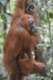 Orangutan, Bukit Lawang, Sumatra, Indonesia Stock Photography