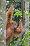 Orangutan, Bukit Lawang, Sumatra, Indonesia Royalty Free Stock Images