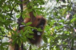 Orangutan, Bukit Lawang, Sumatra, Indonesia Royalty Free Stock Photos