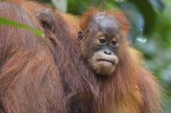 Orangutan, Bukit Lawang, Sumatra, Indonesia Stock Image