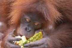 Orangutan, Bukit Lawang, Sumatra, Indonesia Stock Photos