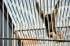 Orangutan in cage Stock Image