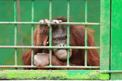 Orangutan in cage Stock Images