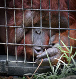 Orangutan in a cage Royalty Free Stock Images