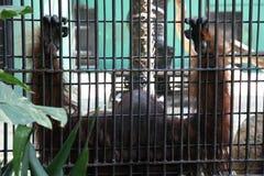 Orangutan Caged. Orangutan in Caged Stock Image