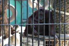orangutan Caged Royalty Free Stock Image
