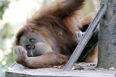Orangutan in captivity Stock Photos