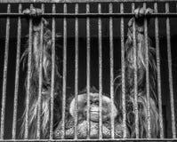 Orangutan in captivity. Old, shaggy orangutan in a cage at the zoo Stock Photos