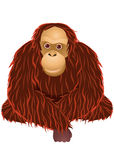 Orangutan cartoon Royalty Free Stock Images