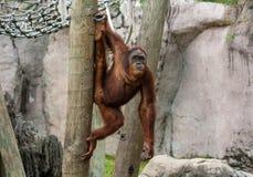 Orangutan che appende su un palo, facente le spaccature, in uno zoo Fotografie Stock