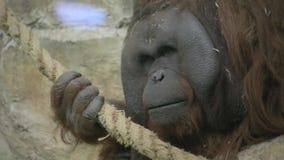 Orangutan che si siede in una gabbia archivi video