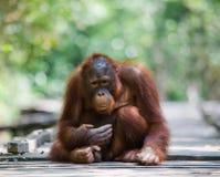 Orangutan che sta su una piattaforma di legno nella giungla l'indonesia L'isola del Kalimantan Borneo Immagine Stock