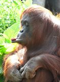 Orangutan Checking To See If The Piece Of Food Is Worth Eating. Stock Images