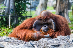 Orangutan in chiangmai zoo chiangmai Thailand Stock Photo