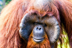 Orangutan in chiangmai zoo chiangmai Thailand Stock Photography