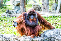Orangutan in chiangmai zoo chiangmai Thailand Royalty Free Stock Images