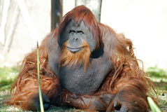 Orangutan Chimpanzee Royalty Free Stock Photos