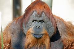 Orangutan Chimpanzee Stock Photography