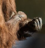 Orangutan clenching fist. A pongo clenching a fist royalty free stock photo