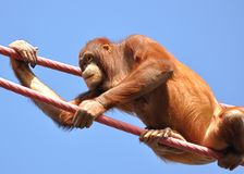 Orangutan climbing ropes Royalty Free Stock Photo
