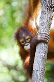 Orangutan climbing a tree. Stock Photo