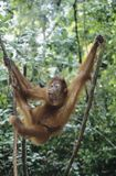 Orangutan climbing tree Royalty Free Stock Images