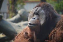 Orangutan. Close-up of male orangutan Stock Images