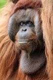 Orangutan close-up portrait Royalty Free Stock Images