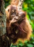 Orangutan con il bambino Fotografia Stock