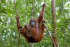 Orangutan con il suo bambino Fotografia Stock Libera da Diritti