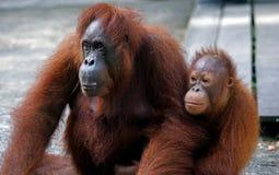 Orangutan con il suo bambino, Semenggoh, Borneo, Malesia Fotografia Stock