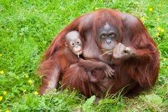 Orangutan con il suo bambino sveglio Fotografia Stock Libera da Diritti