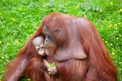 Orangutan con il suo bambino sveglio Fotografia Stock
