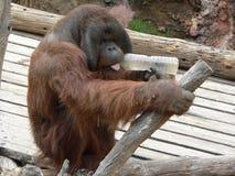 Orangutan con una bottiglia Fotografia Stock Libera da Diritti