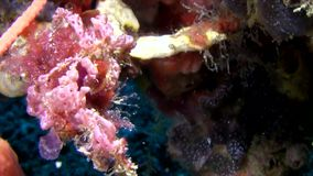 Orangutan crab  in the night lembeh strait Indonesia stock video footage