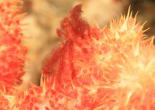 Orangutan crab on orange soft coral royalty free stock image
