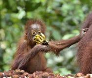 Orangutan cub. Bornean orangutan Pongo  pygmaeus wurmmbii in the wild nature. Rainforest of Isla. Mother orangutan and cub in a natural habitat. Bornean Stock Photos